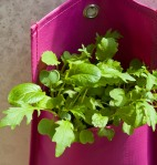 Asian lettuce mix in a hanging compost bag.