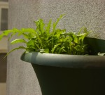 Growing plants in a wall-mounted pot saves space